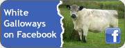 White Galloways on Facebook