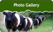 Belted Galloways Gallery